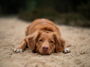 Image of a brown dog laying on the ground