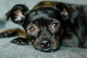 Image of a small black dog laying down and looking up