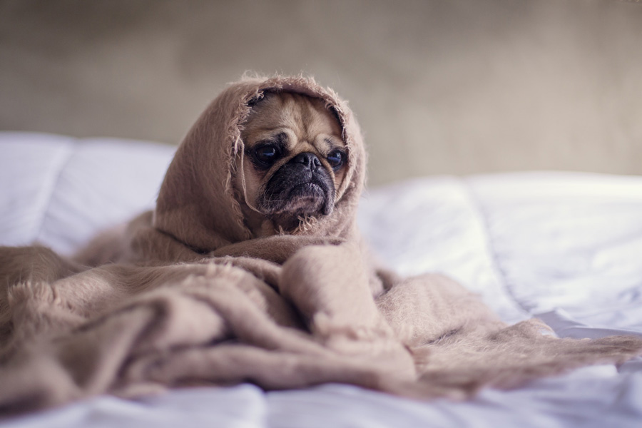 Image of a pug wrapped up in a blanket