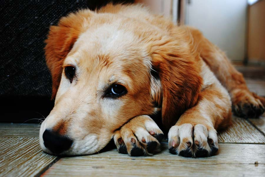 Image of a golden retriever laying down on a hardwood floor looking up