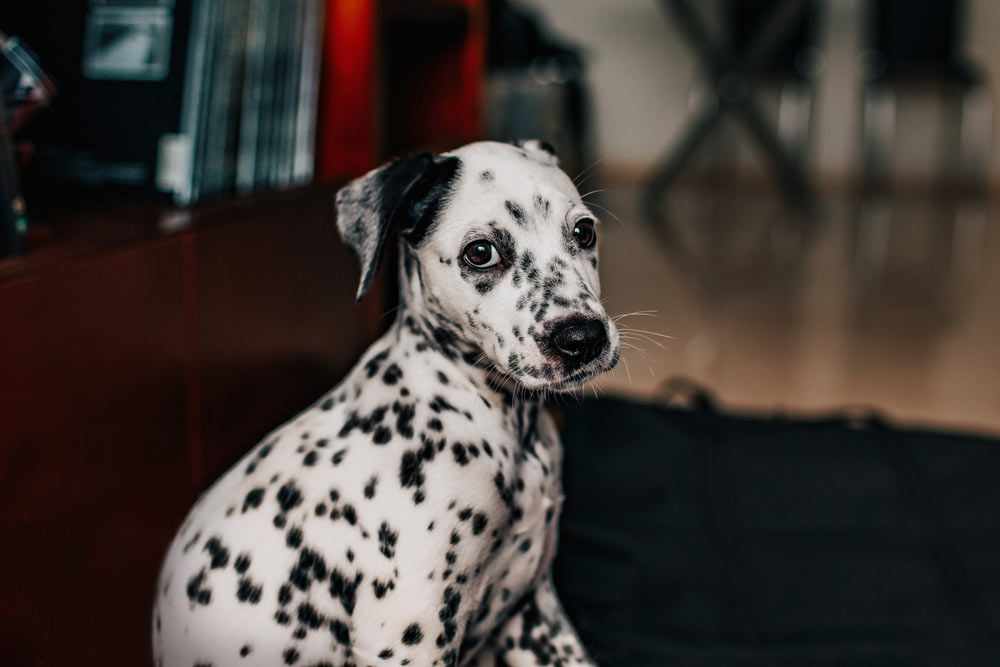 Image of a dalmatian in the process of being potty trained