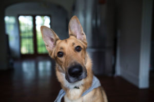 Image of a german shepherd dog looking curiously into the camera