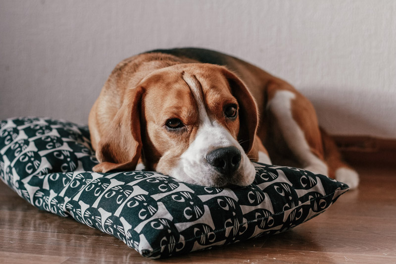 Image of a beagle dog laying on a hardwood floor and a pillow looking tired or sick