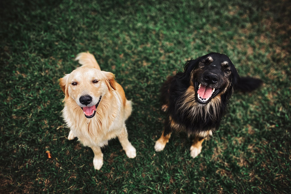 Image of two dogs standing on grass and smiling
