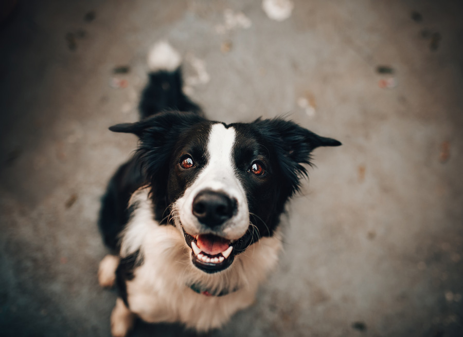 Image of a border collie dog looking up for a treat