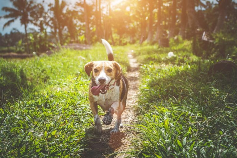 Image of a beagle dog running on a trail with grass on either side and the sun from behind
