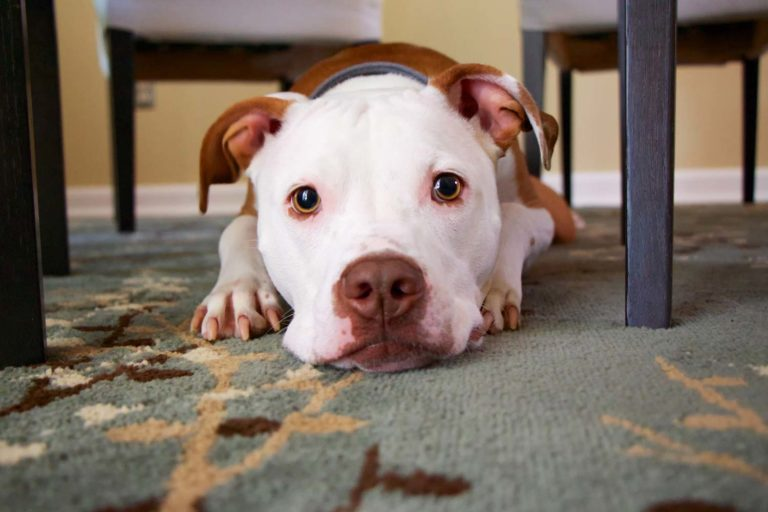 Image of a white and brown dog in a home in a position indicating it could get aggressive
