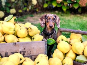 Image of a small dog surrounded by fruit