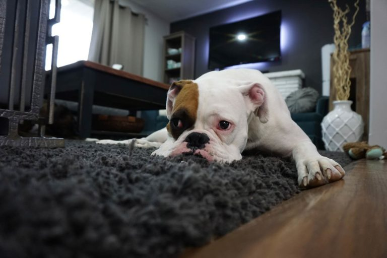 Image of a dog laying on a floor looking anxious