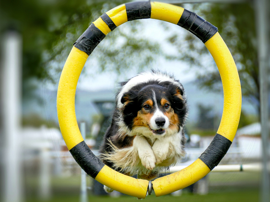 """Image of a dog jumping through a yellow hoop and exercising, which is one thing you can do if you're asking """"what can I give my dog for gas?"""""""