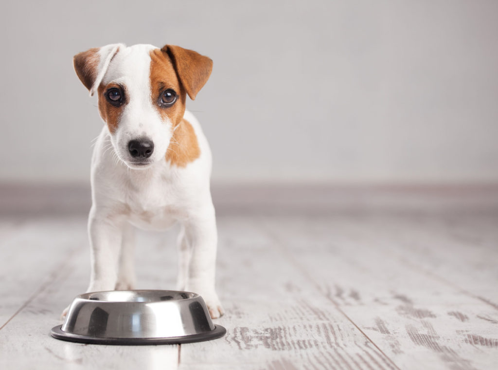 Image of a small white and brown dog waiting to eat at their food bowl to learn dog impulse control