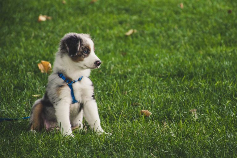 Image of a Australian shepherd puppy being socialized with other dogs at a dog park