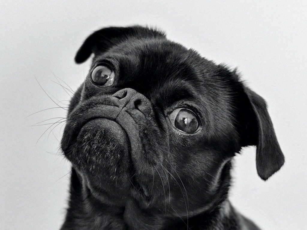 Image of a black pug looking up guiltily after farting