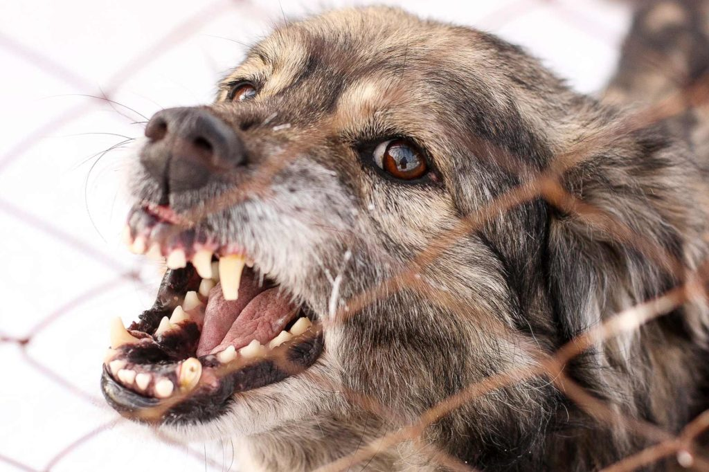 Image of a dog baring its teeth and being aggressive, looking like its going to bite someone