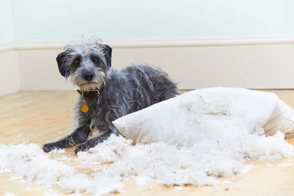 Image of an adult dog who has chewed up a pillow looking guilty
