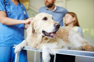 Image of a golden retriever dog getting examined at the vet for canine cushing's disease