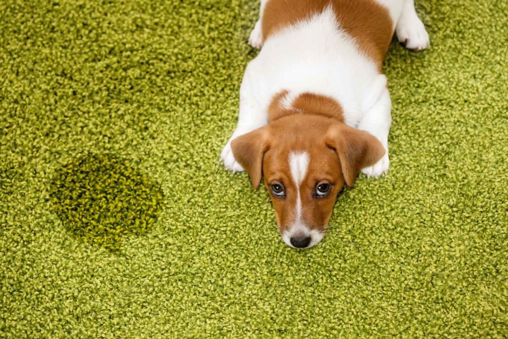 Image of a jack russell puppy laying on a green carpeted floor looking guilty after having an accident