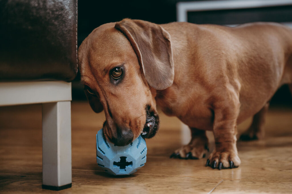 Image of a brown dachshund dog biting a toy and looking possessive and aggressive