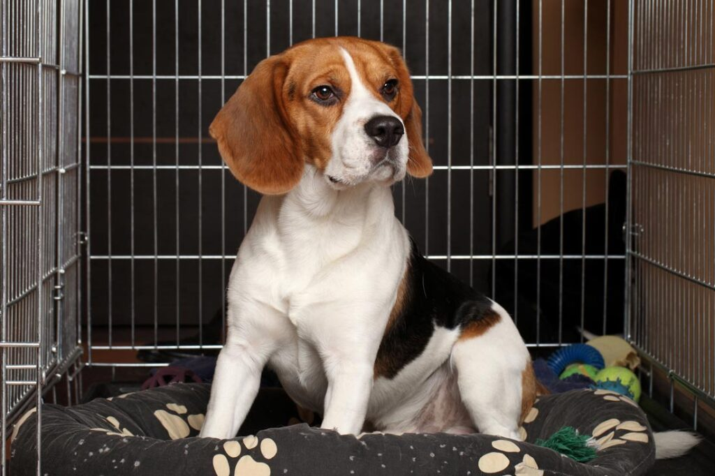 Image of a beagle dog in a crate with toys getting trained to not have separation anxiety when its owners leave home