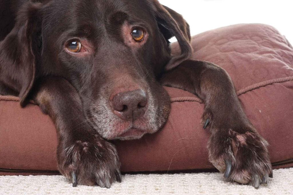 "Image of chocolate lab dog having side effects of antibiotics for article on ""Can I Give My Dog Probiotics While on Antibiotics?"""
