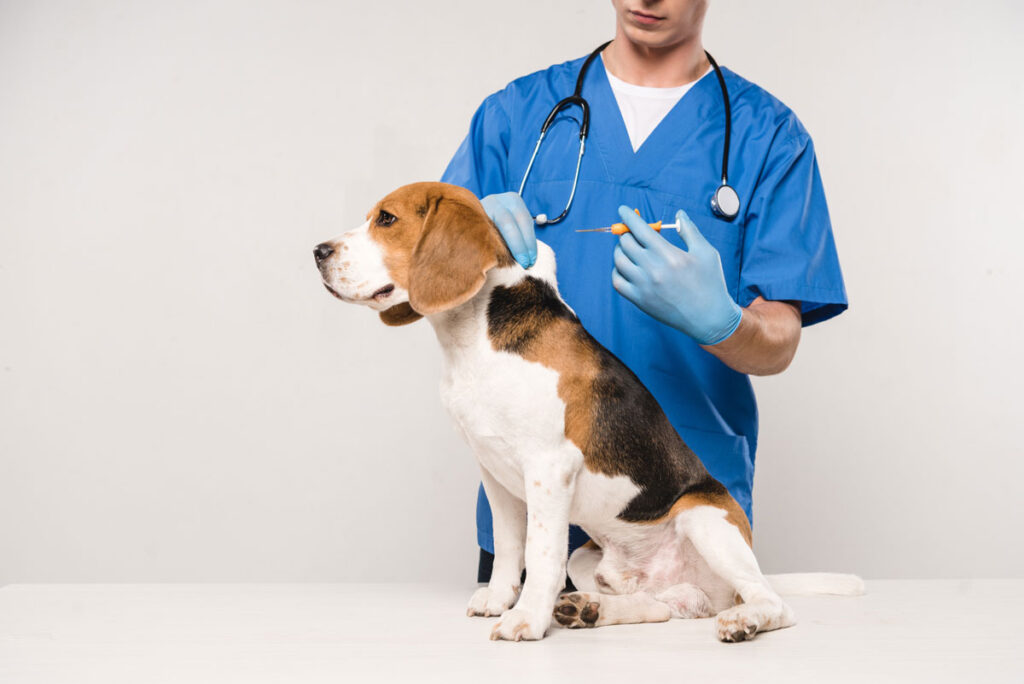 Image of a beagle dog getting an insulin shot for diabetes behind the shoulder