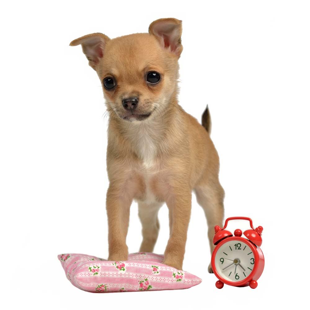 Image of a small brown dog next to a clock ready to potty as a step to take on how to potty train a puppy in an apartment