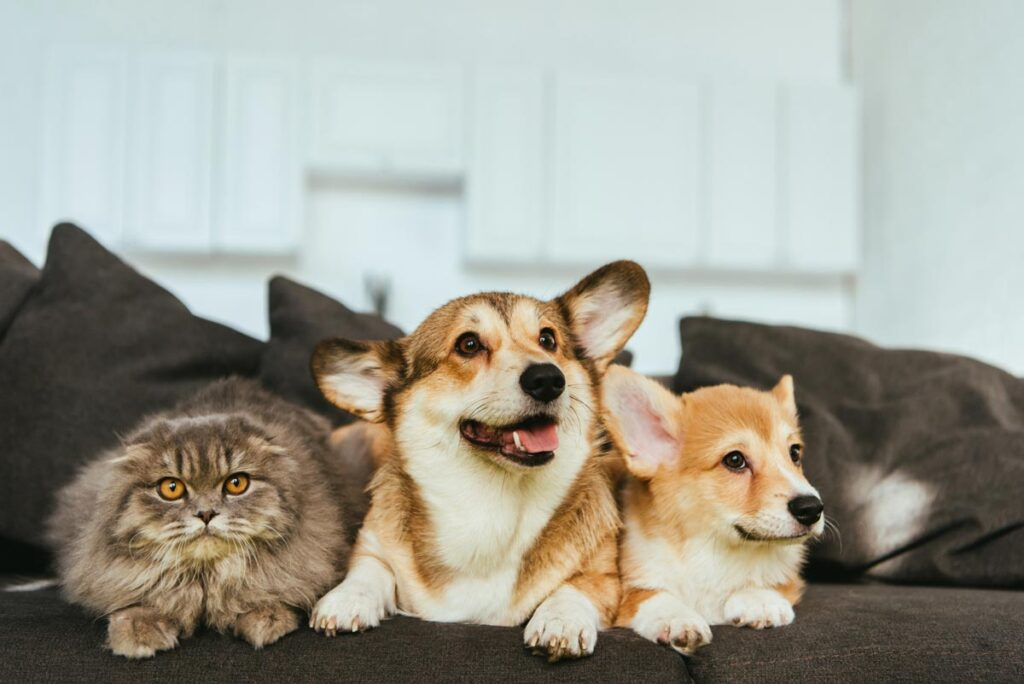 Image of two corgi puppies on a couch with a cat