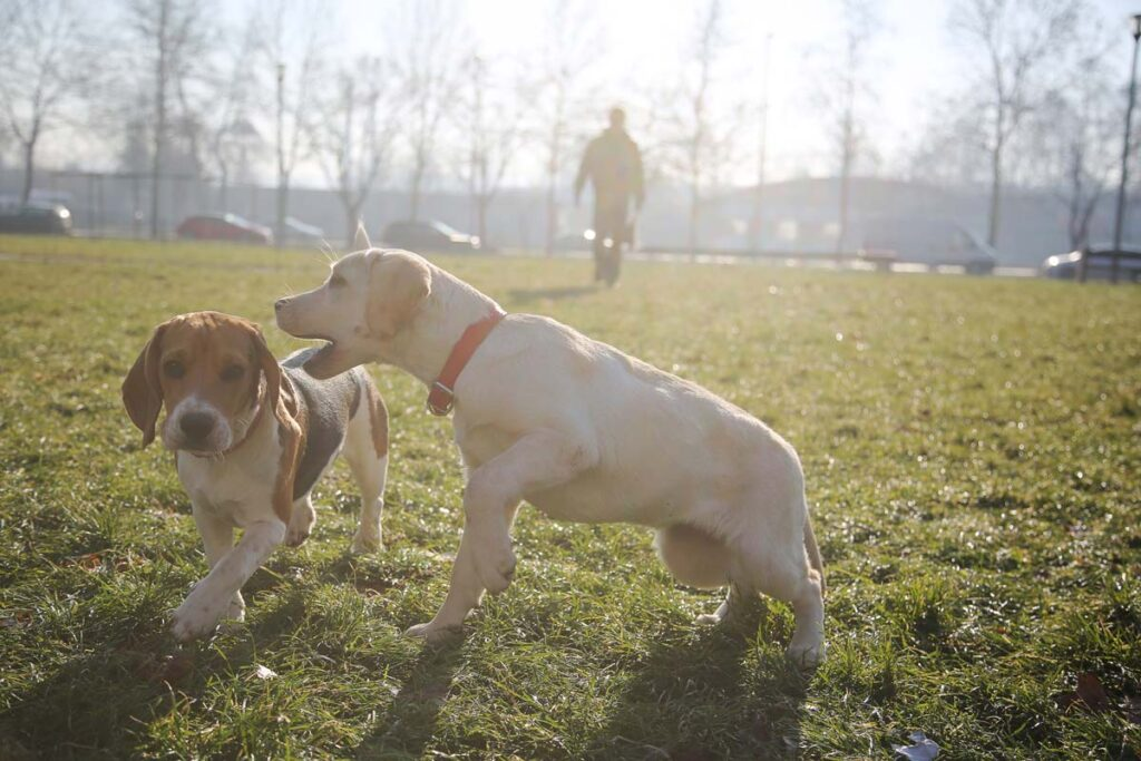 Image of a beagle puppy and a yellow lab puppy playing in a dog park