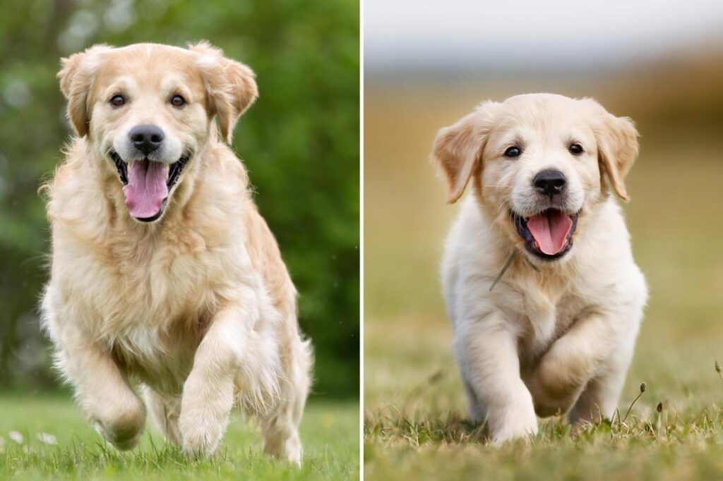 Image of an adult dog running on the left and a puppy on right to compare whether adopting an adult dog or getting a puppy is right for you