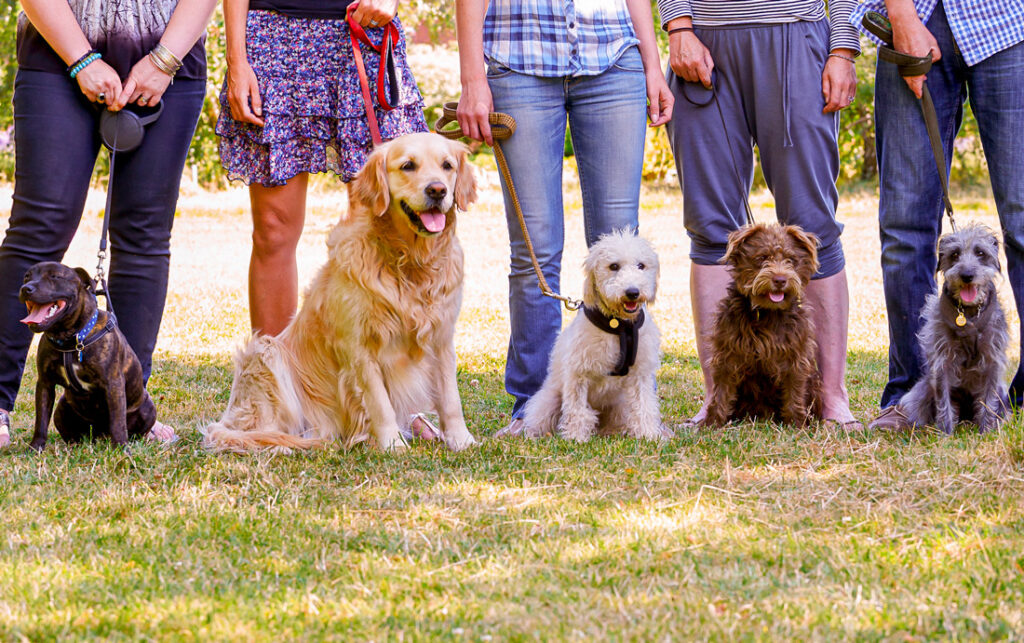 Image of a dog training class where people are outdoors with their dogs socializing them