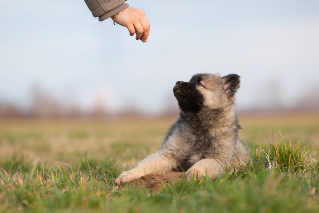 Image of a puppy in a field being fed a treat as positive reinforcement for socializing