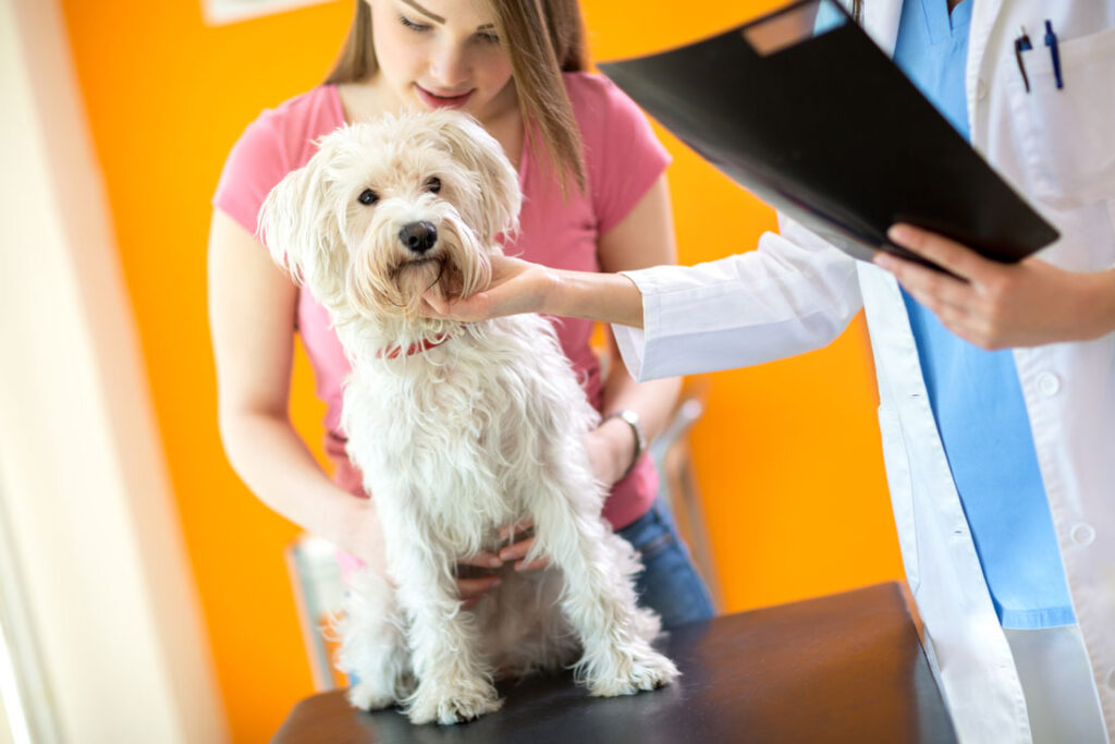 Image of a maltese dog being examined for dog on dog aggression in the home