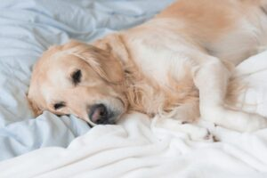 Image of a lethargic-looking golden retriever on a bed with white bedding