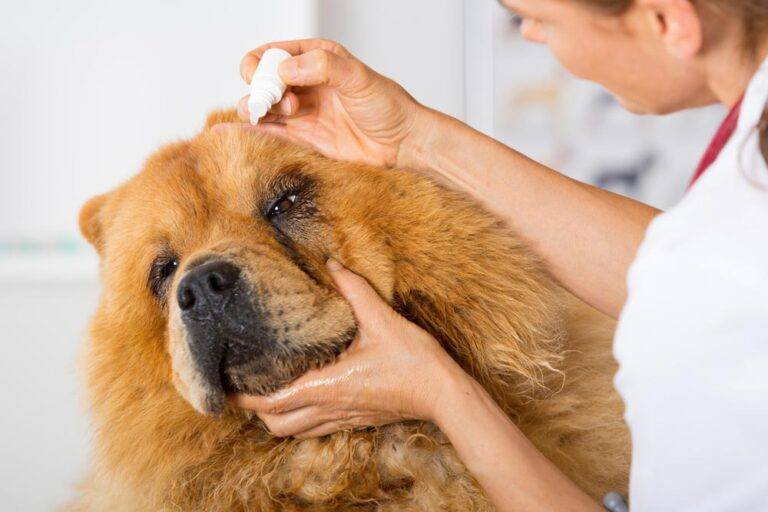 Image of a large brown dog receiving eye drops for hyphema from a veterinarian