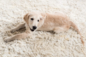 Image of a golden retriever puppy looking guilty after digging at the carpet