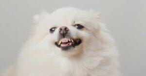 Image of a white pomeranian dog growling at its owner all of a sudden